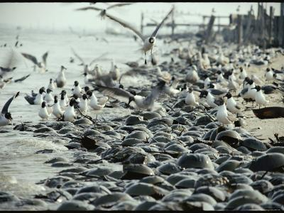 Laughing Gulls Feed on Eggs Left by Mating Horseshoe Crabs-Robert Sisson-Photographic Print