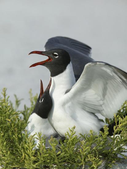 Laughing Gulls Mating, Egmont Key State Park, Florida, USA-Arthur Morris-Photographic Print