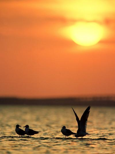 Laughing Gulls, Texas, USA-Olaf Broders-Photographic Print