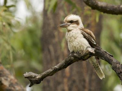 Laughing Kookaburra, Dacelo Novaeguineae, Perched in a Tree-Tim Laman-Photographic Print