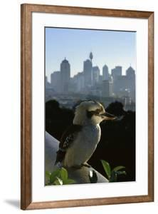 Laughing Kookaburra on City Balcony Rail