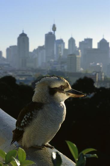 Laughing Kookaburra on City Balcony Rail--Photographic Print
