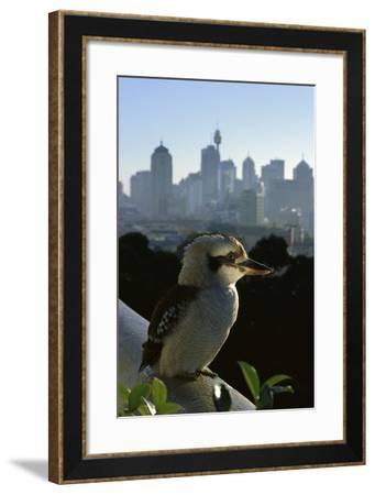 Laughing Kookaburra on City Balcony Rail--Framed Photographic Print
