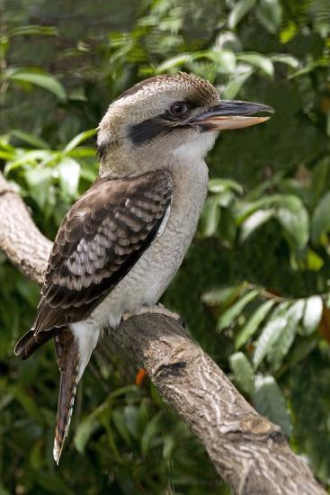 Laughing Kookaburra-Tony Camacho-Photographic Print