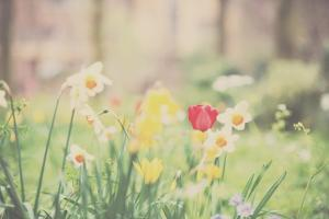 Daffodil and Red Tulip by Laura Evans