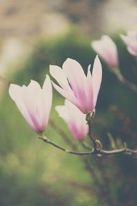 Pink Magnolia Flower by Laura Evans