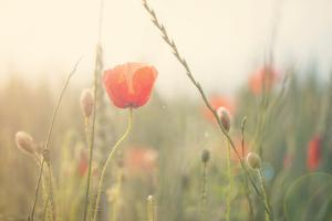 Red Poppy in a Field by Laura Evans