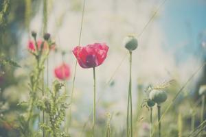 Red Poppy in Field by Laura Evans