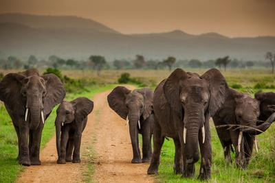 African Elephant Family on Safari, Mizumi Safari Park, Tanzania, East Africa, Africa