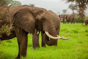 African Elephants on Safari, Mizumi Safari Park, Tanzania, East Africa, Africa by Laura Grier