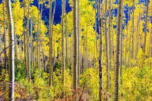 Aspen Trees in the Fall, Aspen, Colorado, United States of America, North America by Laura Grier