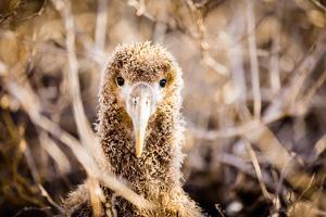Baby albatross on Epanola Island, Galapagos Islands, Ecuador, South America by Laura Grier