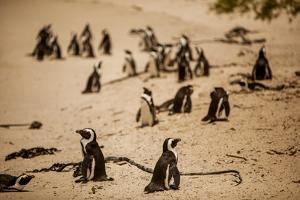 Cape African Penguins, Boulders Beach, Cape Town, South Africa, Africa by Laura Grier
