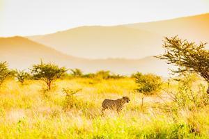Cheetah (Acinonyx jubatus), Zululand, South Africa by Laura Grier