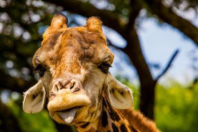Giraffe Making a Funny Face, Kruger National Park, Johannesburg, South Africa, Africa