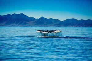 Grey Whales, Whale Watching, Magdalena Bay, Mexico, North America by Laura Grier
