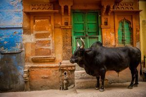 Holy Cow Standing in the Blue Streets of Jodhpur, the Blue City, Rajasthan, India, Asia by Laura Grier
