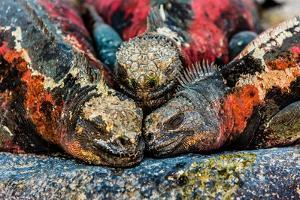 Iguanas, Espanola Island, Galapagos Islands, Ecuador, South America by Laura Grier