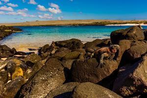 Iguanas on Espanola Island, Galapagos Islands, UNESCO World Heritage Site, Ecuador, South America by Laura Grier