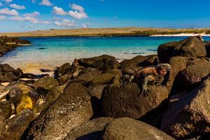 Iguanas on Espanola Island, Galapagos Islands, UNESCO World Heritage Site, Ecuador, South America by Laura Grier