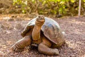 Land Tortoise on Epanola Island, Galapagos Islands, Ecuador, South America by Laura Grier