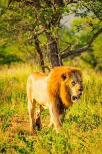 Lion (Panthera leo), Zululand, South Africa by Laura Grier