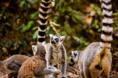 Madagascar Lemurs, Johannesburg, South Africa, Africa