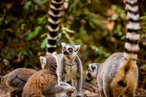 Madagascar Lemurs, Johannesburg, South Africa, Africa by Laura Grier