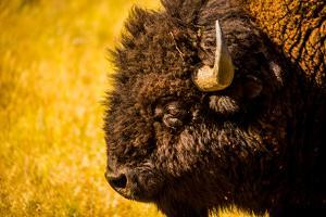Portrait of an American Buffalo, Buffalo Round Up, Custer State Park, Black Hills, South Dakota by Laura Grier