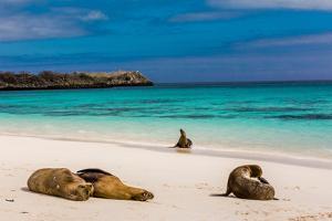 Sea lions on Floreana Island, Galapagos Islands, UNESCO World Heritage Site, Ecuador, South America by Laura Grier