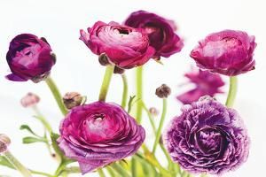 Spring Ranunculus III by Laura Marshall