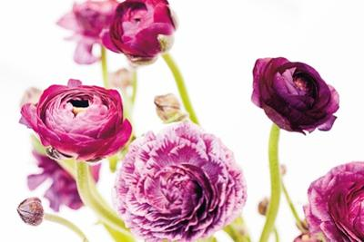 Spring Ranunculus IV by Laura Marshall