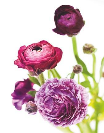 Spring Ranunculus VI by Laura Marshall