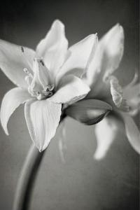White Amaryllis I by Laura Marshall
