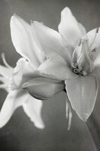 White Amaryllis II by Laura Marshall