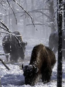 Norton Yellowstone by Laura Rauch