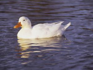 Duck by Lauree Feldman