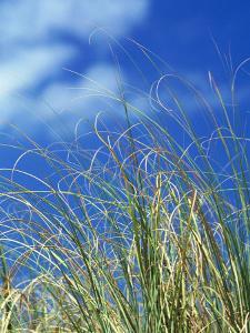 Dune Grass, Florida Keys by Lauree Feldman
