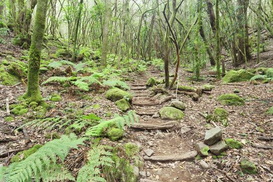 Laurel Forest, Laurisilva, Parque Nacional De Garajonay, La Gomera, Canary Islands, Spain, Europe-Markus Lange-Photographic Print