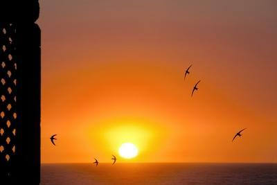 Swallows Flying At Sunset