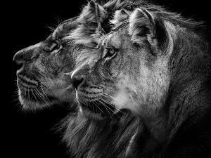 Lion and  Lioness Portrait by Laurent Lothare Dambreville