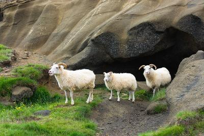 Lava Cave Laugardalur, Sheep-Catharina Lux-Photographic Print