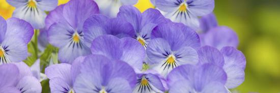 Lavendar and Yellow Pansies, Seattle, Washington, USA-Terry Eggers-Photographic Print