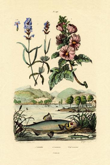 Lavender, 1833-39--Giclee Print