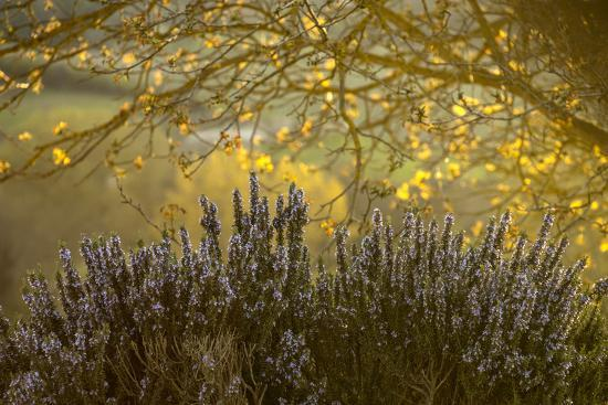 Lavender and a Sunlit Tree in the Early Morning Near San Gimignano-Tino Soriano-Photographic Print