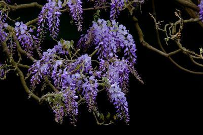 Lavender Colored Wisteria in Monet's Garden in Giverny-Paul Damien-Photographic Print