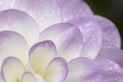 Lavender Dahlia I-Rita Crane-Photographic Print