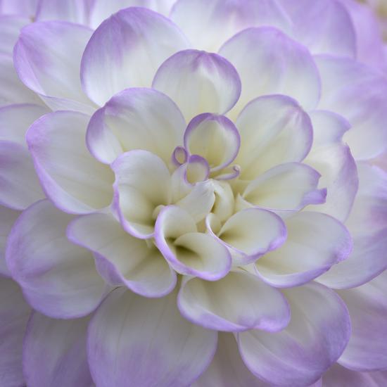 Lavender Dahlia VI-Rita Crane-Photographic Print