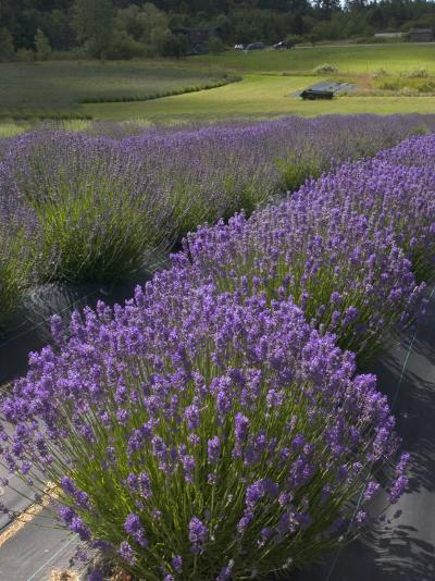 Lavender Farm, San Juan Islands, Washington, USA-Savanah Stewart-Photographic Print
