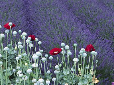 Lavender Field and Poppies, Sequim, Olympic National Park, Washington, USA-Charles Sleicher-Photographic Print